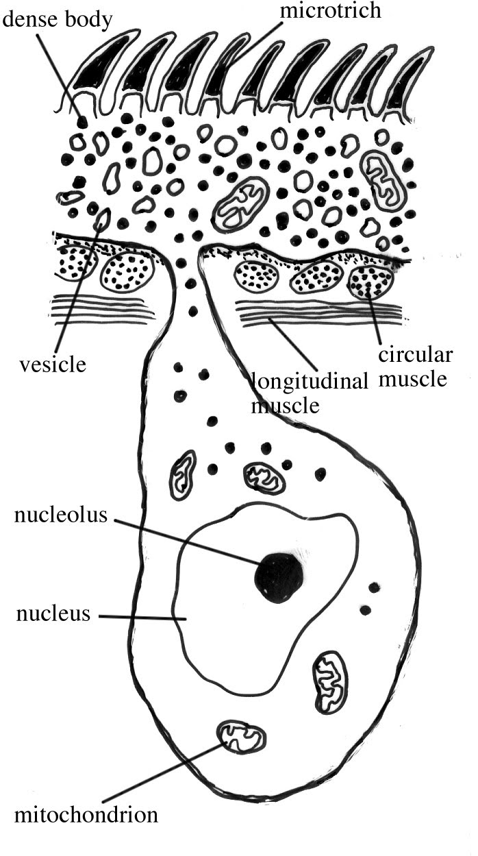 tegument platyhelminthes