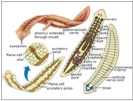 COELOM | Zoology, Biology classroom, Worm images